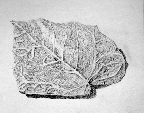 Drawing of a leaf in pencil